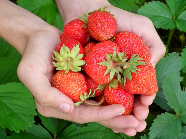 Red Strawberries in human hand