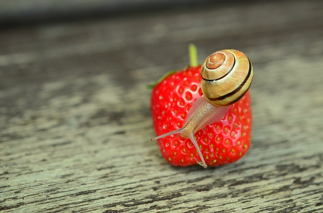 image-snail-on-a-strawberry