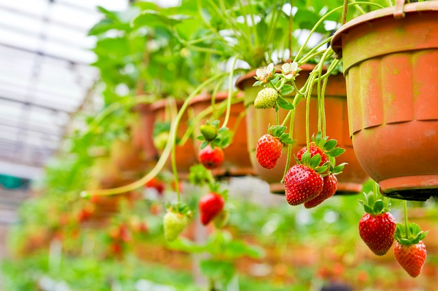 How-Many-Calories- Fats-Carbohydrates-and-Proteins-are-in-Strawberries-and-4-Super-Amazing-Historical-Facts(Last Paragraph)(2)