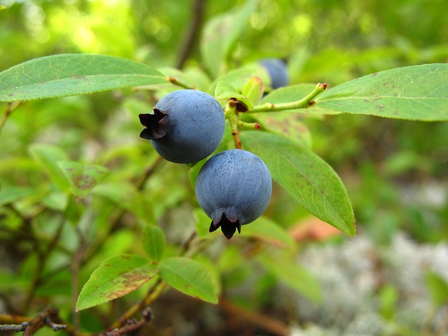 Great Health Benefits of Eating Blueberries Everyday