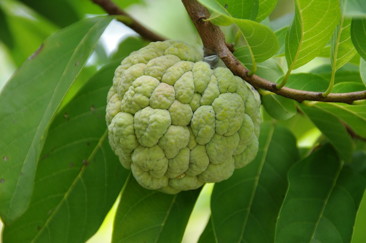 21 Amazing Health Benefits Of Eating Custard Apple (Sitaphal) & Its Side Effects