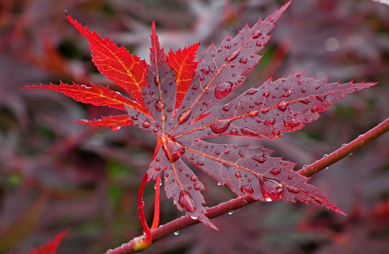 10 Health Benefits of Drinking Maple Water (Sap)