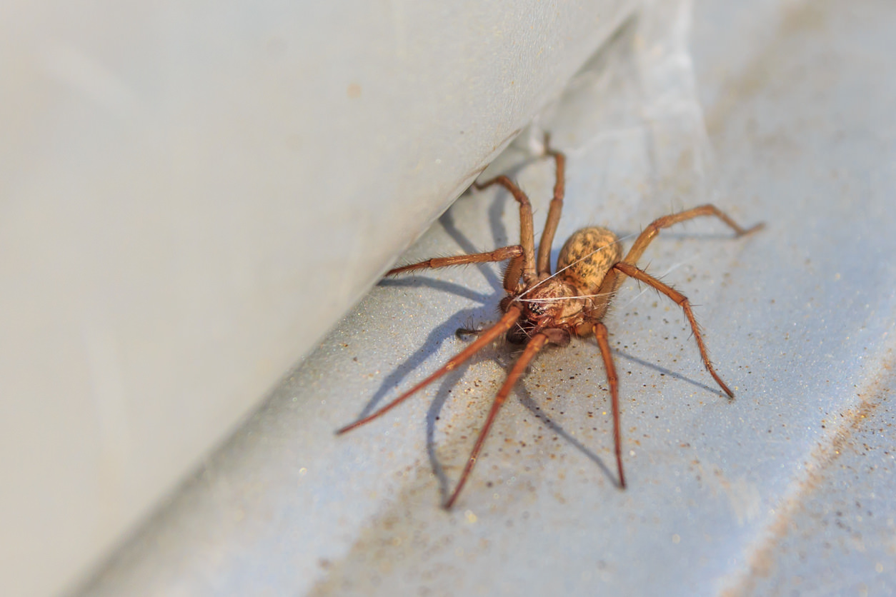 Hobo Spider Bite: Pictures, Symptoms, Treatments, Stages & Prevention